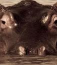 Chitwa – Hippo
