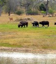 Chitwa – waterhole _ buffalos