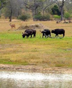 Chitwa - waterhole _ buffalos
