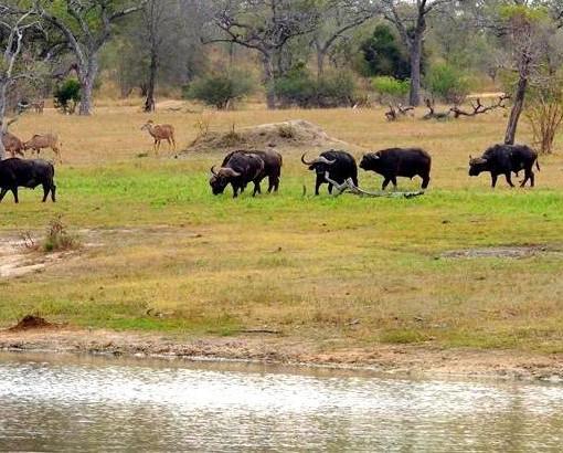 Chitwa - waterhole _ buffalos