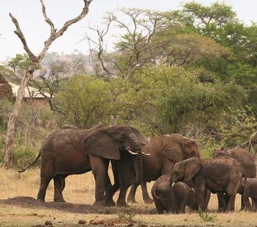 Faru Faru Lodge Elephants