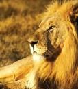 Lobengula-Shamwari Game Reserve Lion