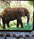 Makanyane-Elephant-outside-suite