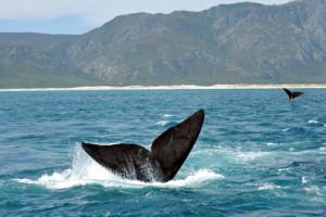hermanus-whale-2