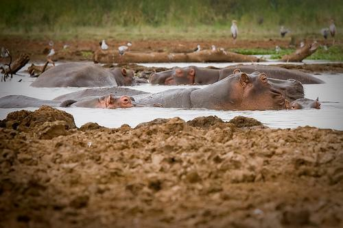 hippos_in_mud
