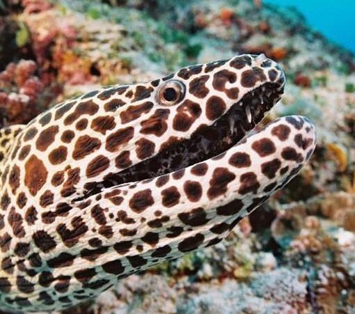 ibo-island-eel