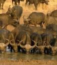 ivory-tree-buffalo