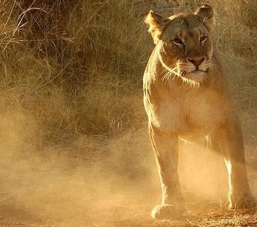 ivory-tree-lion-cub