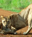 ivory-tree-lioness