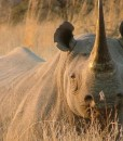 ivory-tree-rhino