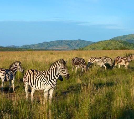ivory-tree-zebras