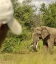 kambaku – elephant