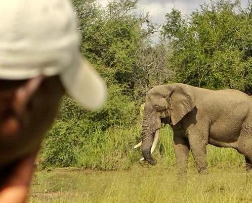 kambaku - elephant