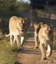 kapama-buffalo-camp-lions