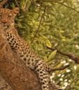 khwai-leopard
