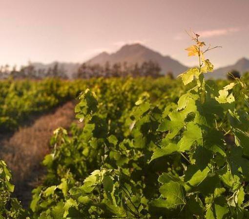 lavenir-vineyards