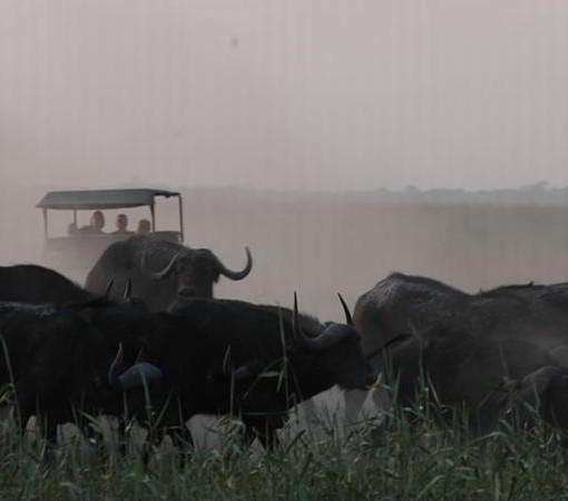 linyanti-buffalo