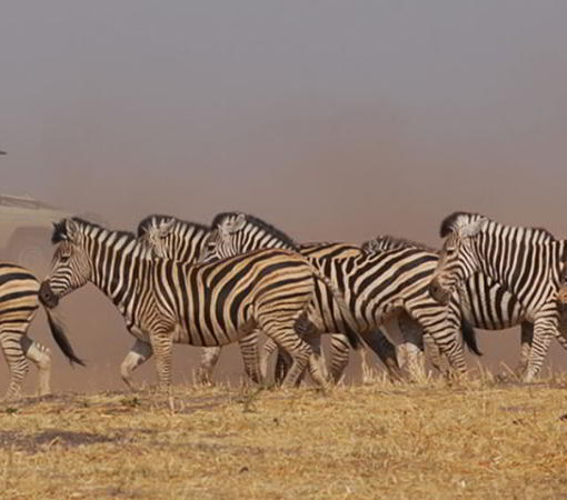 linyanti-zebra