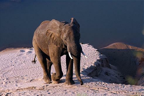 young_elephant