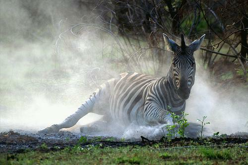 zebra_in_dust