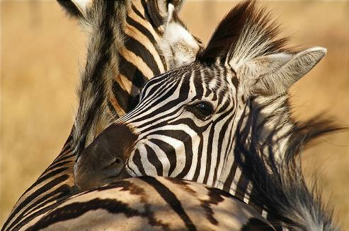 zebras_hugging