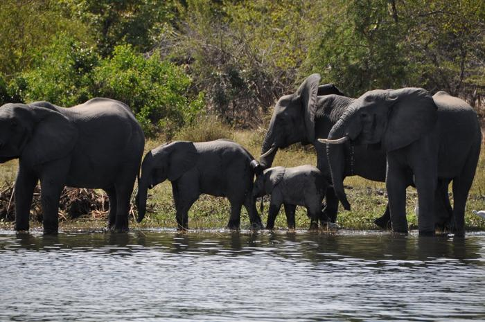 Elephants-at-Mvuu-Camp-liwonde