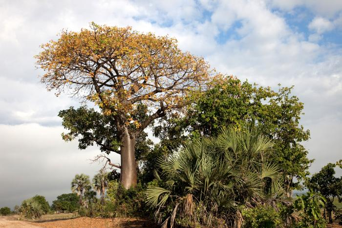 Liwonde-Baobob-Tree