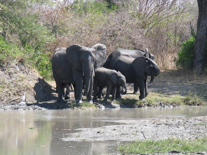 Liwonde-National-Park-Elephants