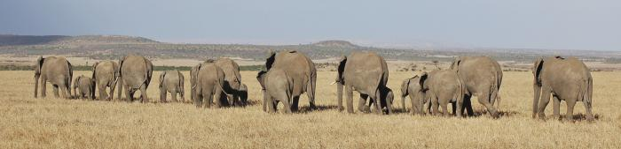 Niassa National Reserve Elephants