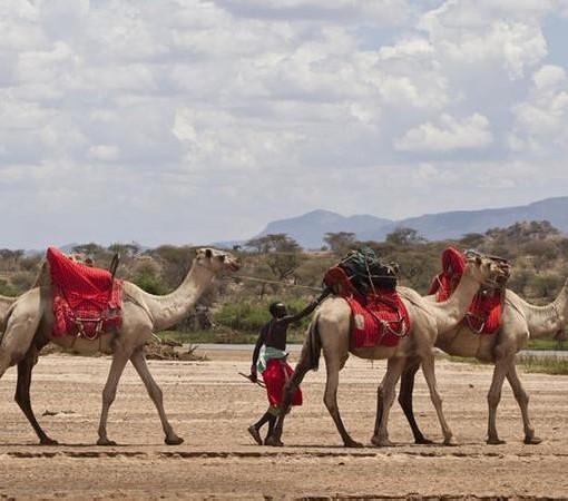 Sasaab-Lodge-Camels
