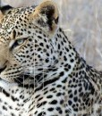 Tanda-Tula-Leopard