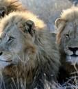 Tanda-Tula-Lions