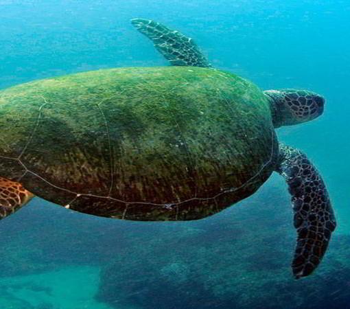 bazaruto-turtle