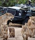 londolozi-founders-lions