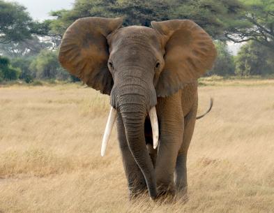 maasai-mara-elephant