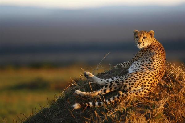 maasai-mara-leopard