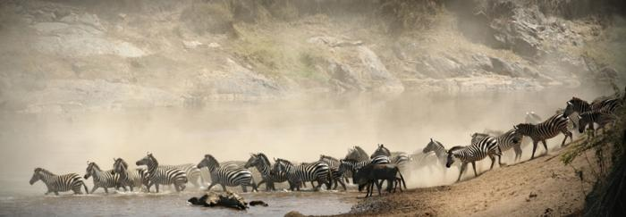 Maasai Mara Zebra River Crossing
