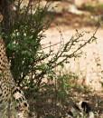 singita-lebombo-cheetah