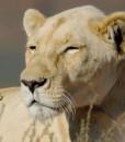 tilney-manor-lioness