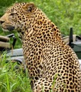 inyati-dayone male leopard