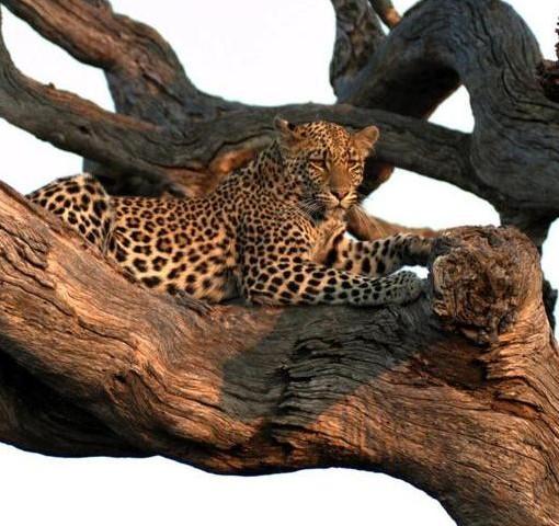 Jamala-leopard