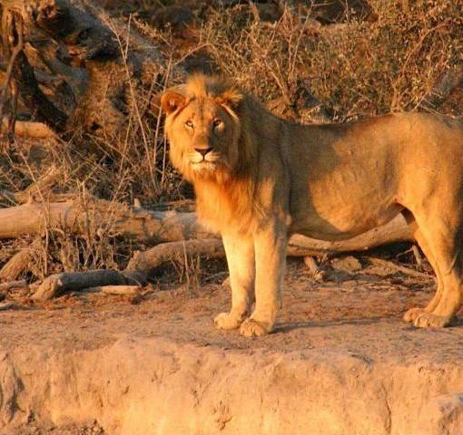 Jamala-lion