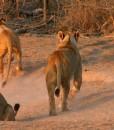 Jamala-lions