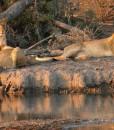 Jamala-lions-drinking