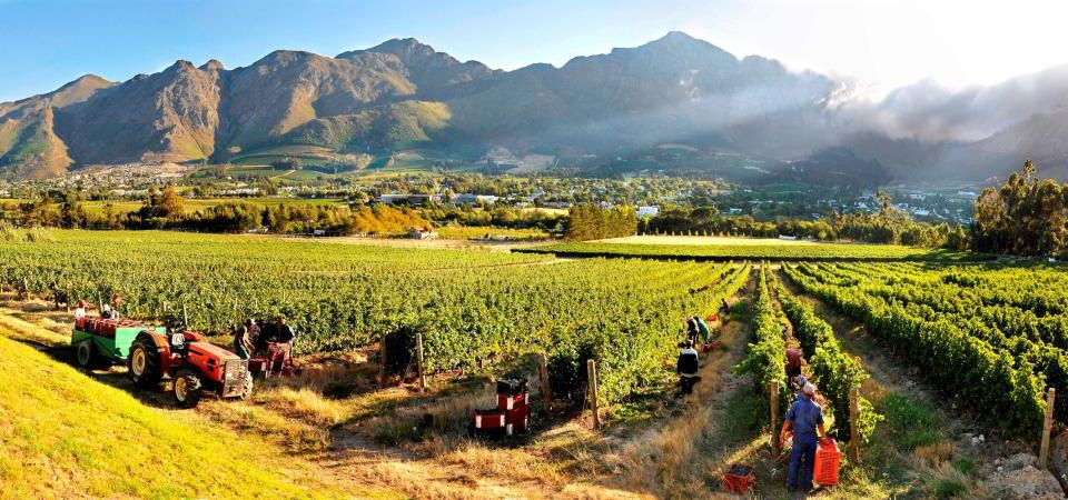 cape-winelands-harvest