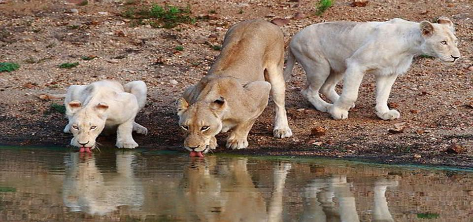 timbavati-white-lions